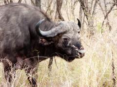 Bufalo - Parque Kruger Sudáfrica