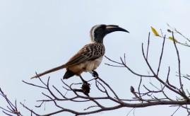 Hornbill - Parque Kruger Sudáfrica