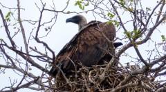 Buitre - Parque Kruger Sudáfrica
