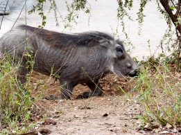 Facocero - Parque Kruger Sudáfrica