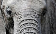 Elefante africano - Parque Kruger Sudáfrica