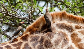 Desparasitando jirafas - Parque Kruger Sudáfrica