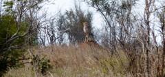 Guepardo - Parque Kruger Sudáfrica