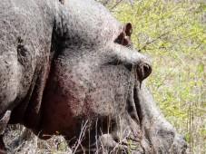 Hipopótamo - Parque Kruger Sudáfrica