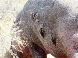 Desparasitando hipopótamos - Parque Kruger Sudáfrica
