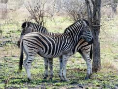 Cebras - Parque Kruger Sudáfrica