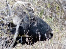 Búfalo - Parque Kruger Sudáfrica