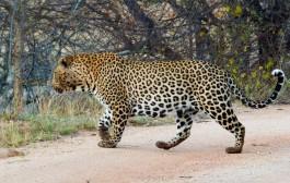 Leopard - Game reserve Siduli Sudáfrica