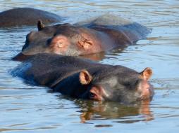 Hippo - Game reserve Siduli Sudáfrica