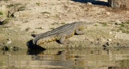Crocodile - Game reserve Siduli Sudáfrica