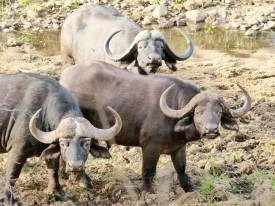 Búfalos - Game reserve Siduli Sudáfrica