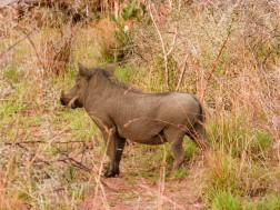 Facocero - Game reserve Siduli Sudáfrica